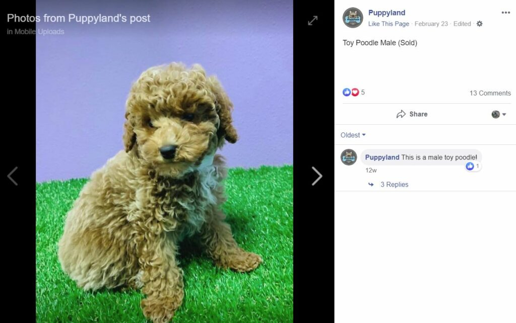 rehome poodle